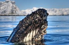 Hoofd walvis Stock Foto