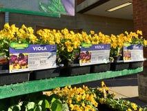 HOOFDARTIKEL: Gele pansies voor verkoop bij een het landbouwbedrijf en de tuindetailhandelaar van Illinois royalty-vrije stock foto's