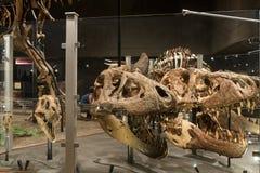 HOOFDARTIKEL, 12 Juli 2017, Bozeman Montana, Museum van de Rotsachtige Bergen, Tyrannosaurus Rex Fossil Exhibit royalty-vrije stock foto