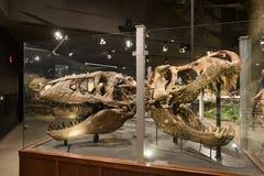 HOOFDARTIKEL, 12 Juli 2017, Bozeman Montana, Museum van de Rotsachtige Bergen, Tyrannosaurus Rex Fossil Exhibit stock afbeelding