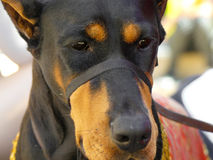 Hoofdclose-up van de portret de doberman hond Stock Foto's