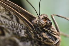 Hoofddetails van Caligo-atreuslepidoptera (Vlinder) Royalty-vrije Stock Fotografie