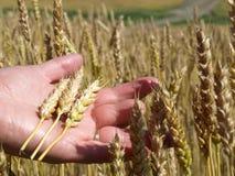 Hoofden van tarwe. Stock Afbeeldingen