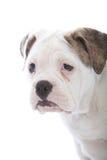 Hoofdportret van een gerimpelde witte hond royalty-vrije stock afbeelding