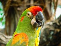 Hoofdschot van een kleurrijke papegaai met een vage achtergrond Stock Foto's