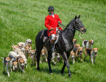 Hoofdvos Huntsman met Honden Stock Foto's
