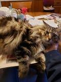 Hoofdwasbeer Longhaired Kat royalty-vrije stock afbeeldingen