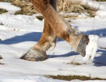 Hoofs of horses in winter. In the park in nature Royalty Free Stock Photos