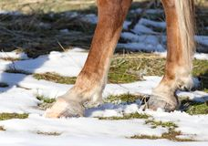 Hoofs of horses in winter. In the park in nature Royalty Free Stock Photography