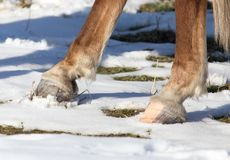 Hoofs of horses in winter. In the park in nature Stock Photos