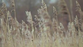 Hoog droog gras tegen de hemel stock footage