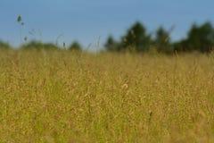 Hoog geel gras met groene bosbomen op de achtergrond Royalty-vrije Stock Afbeeldingen