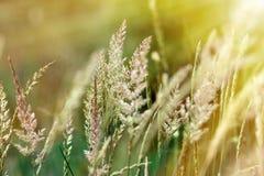 Hoog gras dat door zonlicht wordt verlicht Stock Afbeeldingen