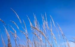 Hoog gras tegen de blauwe hemel royalty-vrije stock afbeelding