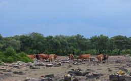 Hoog-ligt gebied van Giara Di Gesturi met sommige koeien in een stormachtige dag - Sardinige - Italië stock foto's