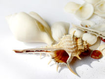 Hoog zeer belangrijk stilleven van shells Royalty-vrije Stock Afbeelding