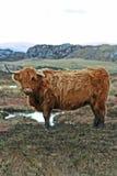 Hoogland Bull2 Stock Foto