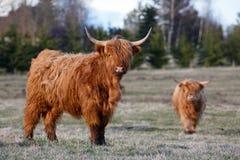 Hoogland cattles royalty-vrije stock foto