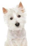 Hoogland Terrier (westie) op witte achtergrond royalty-vrije stock afbeeldingen