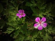 Hooglandbloemen Stock Fotografie