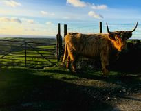Hooglandenkoeien in platteland royalty-vrije stock foto's