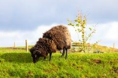 Hooglander Zwarte Ram royalty-vrije stock foto