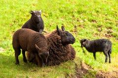 Hooglander Zwarte Sheeps royalty-vrije stock afbeeldingen