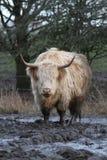 Hooglandkoe die zich in modder op saaie dag bevinden Royalty-vrije Stock Foto