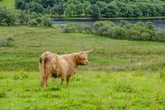 Hooglandkoe door loch Stock Fotografie
