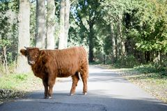 Hooglandkoe op de weg - solo stock foto