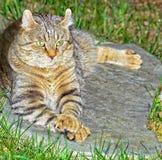 Hooglandlynx Cat Lying op een Rots Royalty-vrije Stock Afbeeldingen
