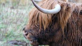 Hooglandvee - BO Ghaidhealach - Heilan-coo - een Schots veeras met kenmerkende lange hoornen en lange golvend stock footage