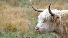 Hooglandvee - BO Ghaidhealach - Heilan-coo - een Schots veeras met kenmerkende lange hoornen en lange golvend stock videobeelden