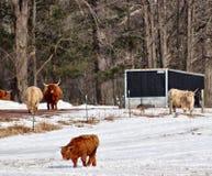 Hooglandvee in de sneeuw stock foto's