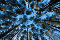 Hoogste bomen. Stock Afbeelding