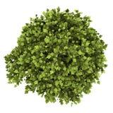 Hoogste die mening van bonsaiinstallatie in pot op wit wordt geïsoleerd Stock Afbeeldingen
