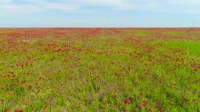 Hoogste mening over mooi rood papavergebied schot Het mooie gebied van de landschapsaard van bloeiende papaver op blauwe hemelach stock footage