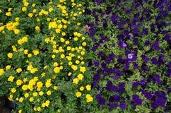 Hoogste mening van bloembed met multicolored petuniabloemen stock foto