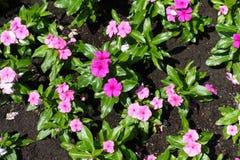 Hoogste mening van bloemen van Catharanthus-roseus in schaduwen van roze stock foto