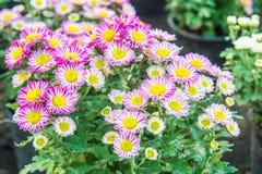 Hoogste mening van de bloemflowe als achtergrond van Mun van de Bloemist, roze en witte Stock Foto