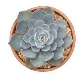 Hoogste mening van de cactus de succulente installatie in plastic die pot op witte achtergrond, weg wordt geïsoleerd stock foto's