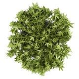 Hoogste mening van decoratieve klimplant in pot die op wit wordt geïsoleerd Stock Foto