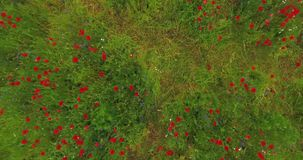 Hoogste mening van een wild gebied met bloeiende papaver Hommel het schieten stock videobeelden
