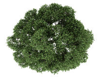 Hoogste mening van Engelse eiken die boom op wit wordt geïsoleerd stock illustratie