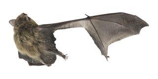 Hoogste mening van Gemeenschappelijke Pipistrelle met gebroken vleugel Stock Foto