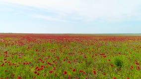 Hoogste mening van groen gebied met rode papaver op achtergrond van hemel schot De lichte wind slingert papaverknoppen op gebied  stock footage