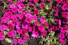 Hoogste mening van heldere magenta-gekleurde petunia royalty-vrije stock foto