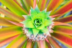 Hoogste mening van kleurrijke ananasboom Stock Foto's