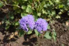 Hoogste mening van lavendel-gekleurde bloemen van Ageratum-houstonianum stock foto