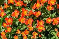 Hoogste mening van mooie bloeiende oranjerode tulpen met geel hart stock foto's